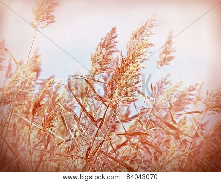Beautiful dry reed (cane)