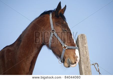 Headshot Of A Young Chestnut Stallion