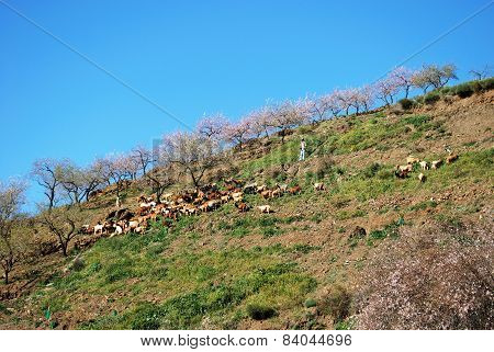 Goats on hillside, Spain.