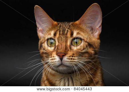 Closeup Bengal Cat Looking In Camera