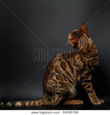 Bengal Cat Sitting On Black