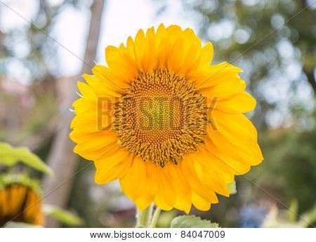 Sunflowers Or Helianthus Annuus Field In The Garden