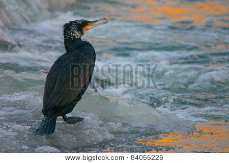Portrait Of Great Cormoran On The Frozen River At Sunrise