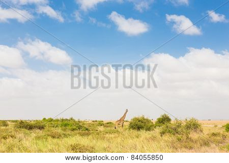 Giraffe in african wilderness.