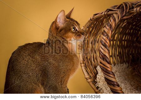 Ruddy abyssinian cat on yellow background