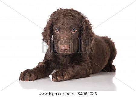 brown curly coated retriever puppy