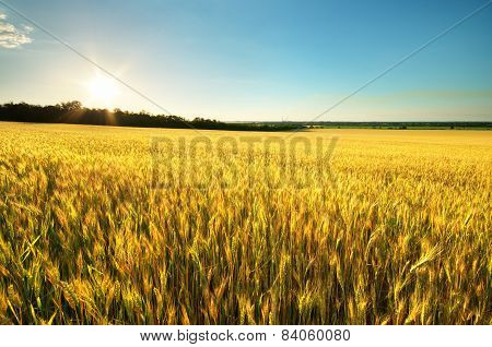Harvest Of Wheat
