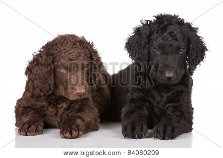 adorable curly puppies on white