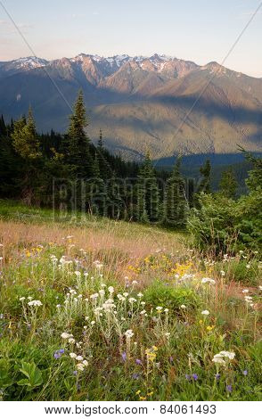 Early Morning Light Wildflower Meadow Olympic Mountains Hurricane Ridge
