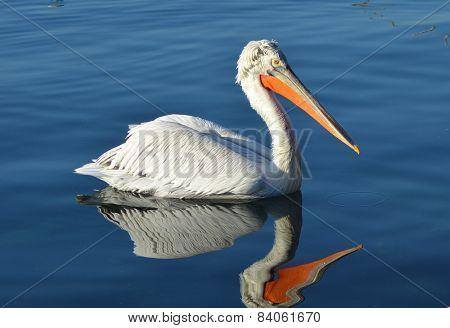 Pelican swimming