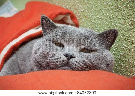 British cat relaxing on the red couch