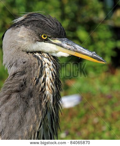 Adolescent Grey Heron profile, with natural green background