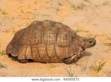 Wild Isolated Leopard Tortoise in Hwange National Park