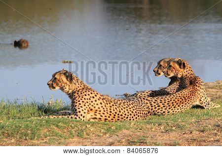 Three Cheetahs in Hwange