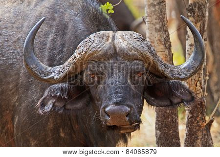 Isolated Cape Buffalo on Hwange National Park