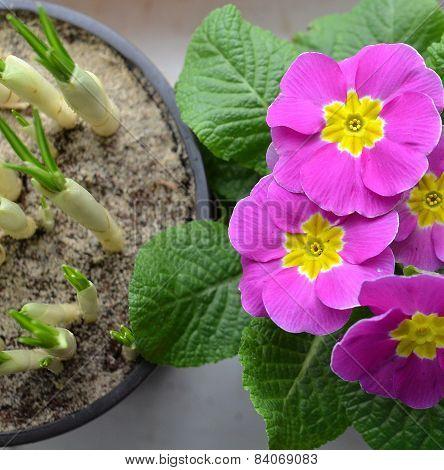 crocuses and primrose.