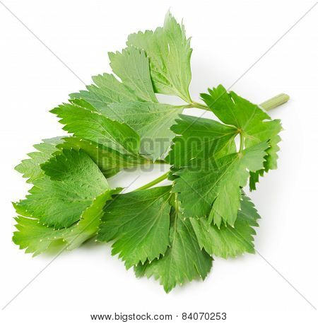 Aromatic Herb Lovage
