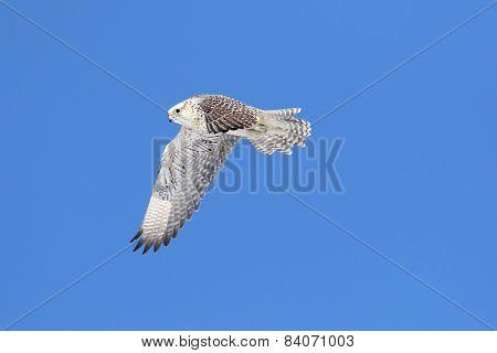 Rare (gyrfalcon Falco Rusticolus)