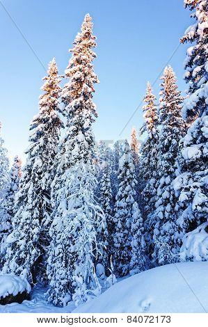 Spruce Under Snow In Winter Lapland
