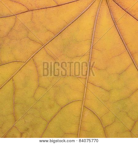 Fallen Golden Yellow Maple Leaf Texture Pattern, Autumn Fall Grunge Vintage Herbarium Abstract
