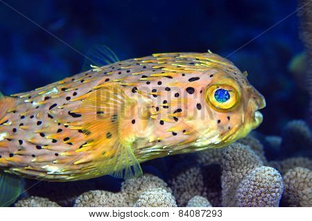 Normal Shape Porcupine Fish