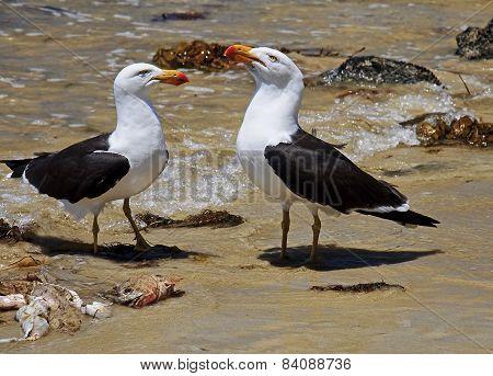 Greater Black-backed Gull