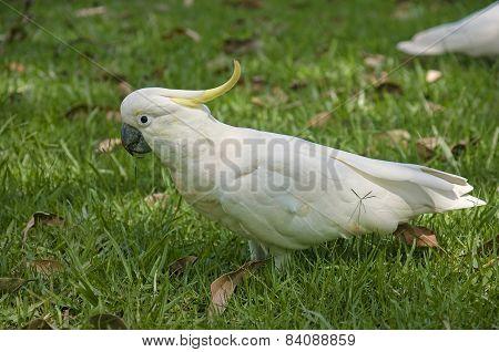 White Parrot From Australia