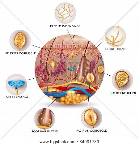 Skin Anatomy And Sensory Receptors In The Skin