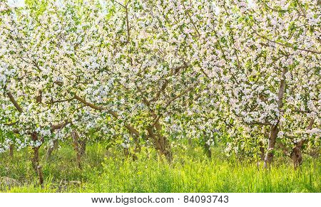Blossoming Apple Orchard In Spring Evening