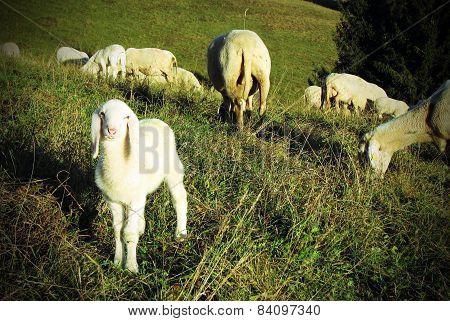 Lamb Graze In The Meadow Hill