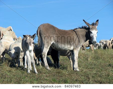 Little Donkey And His Mother Donkey And Grazing In The Mountains