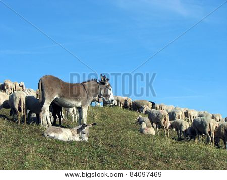 Donkey With The Flock Of Sheep To Graze