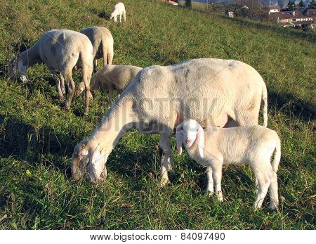 Young Lamb With Mother Sheep Graze In The Meadow