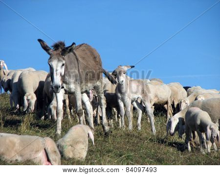 Donkey With Flock Of Sheep Grazing