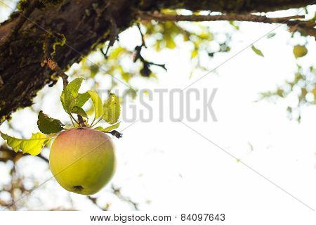 Tempting Green Apple