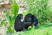 pic of biblical  - Chimpanzee in Jerusalem Biblical Zoo Jerusalem Israel - JPG