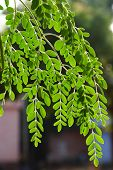stock photo of moringa oleifera  - Moringa oleifera - JPG