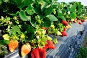pic of strawberry plant  - strawberry  plants in growth at field under sky - JPG