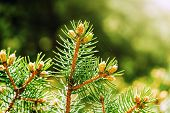 picture of spiderwebs  - Young shoots of pine trees in the forest spring with spiderwebs  - JPG
