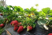 image of strawberry plant  - closeup of strawberry plants in growth at field - JPG