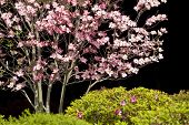 picture of dogwood  - Beautiful pink dogwood tree with shrubbery against a black background - JPG