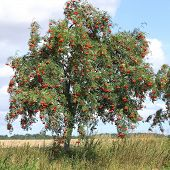 picture of orange-tree  - The European rowan lat - JPG