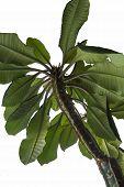 stock photo of plant species  - Plant spurge  - JPG