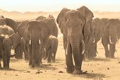 stock photo of calves  - Herd of african elephants walking in savanna - JPG
