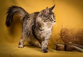 image of yellow tabby  - tabby maine coon cat on yellow  background - JPG