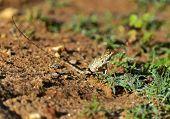 pic of chameleon  - Chameleon in the wild on the island of Sri Lanka - JPG