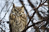 foto of owl eyes  - Great Horned Owl with an Injured Eye - JPG