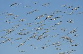 stock photo of geese flying  - Massive Flock of Snow Geese Flying In a Blue Sky