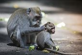 picture of tail  - Long Tailed Macaque with her Infant Sacred Monkey Forest Ubud - JPG