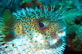 stock photo of venomous animals  - Mid body blown porcupine fish hovering under water - JPG